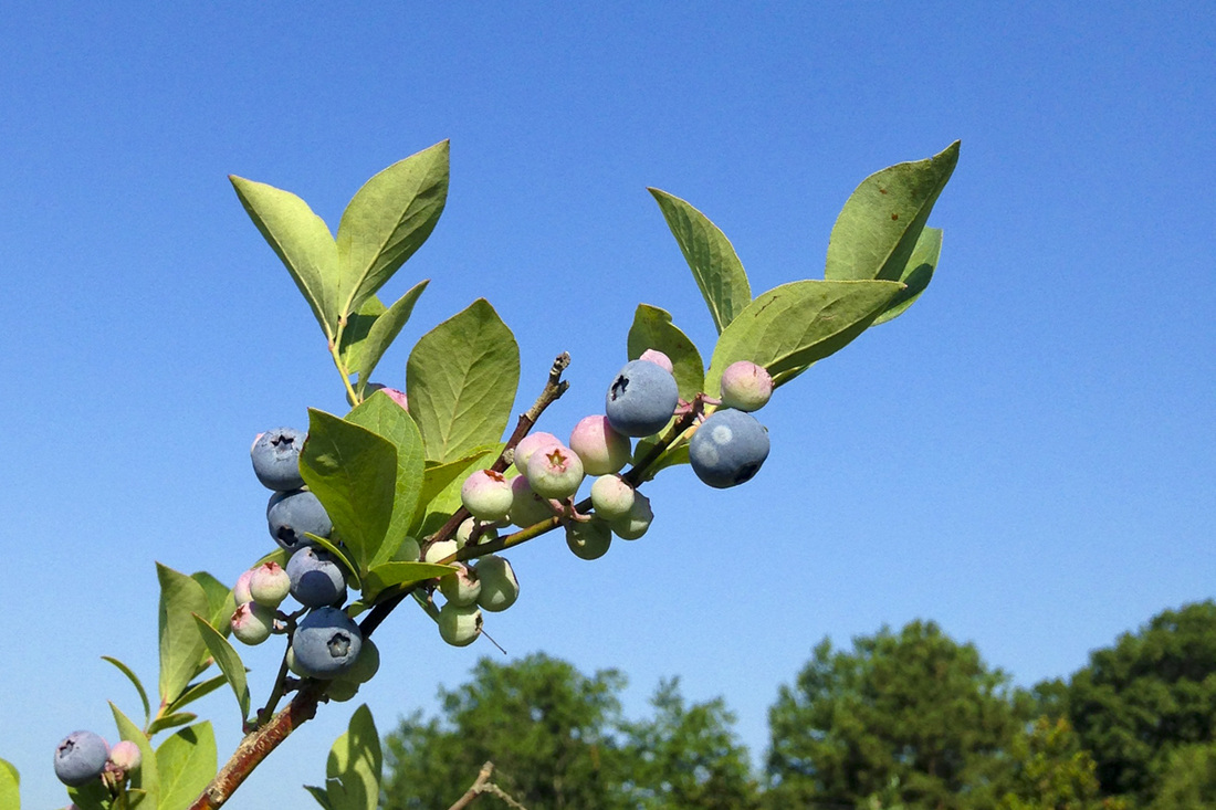 Blueberry picking at Herndon Hills Farm, Durham, NC. Photography by Calm Cradle Photo & Design