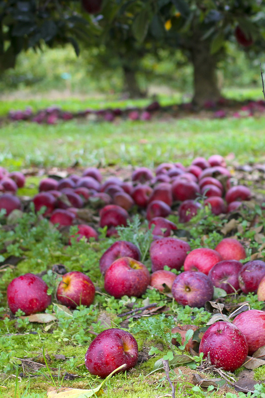 Red apples in a green orchard. Hendersonville, NC. (Stepp's Hillside Orchard) By Calm Cradle Photo & Design