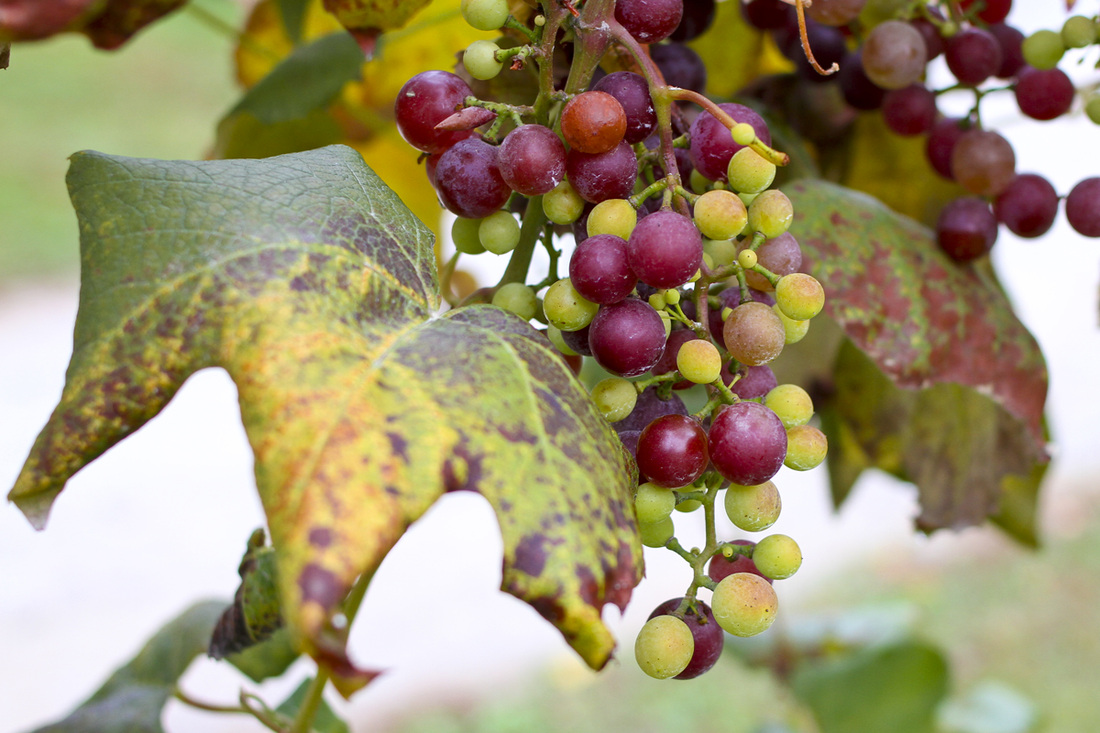 Green and purple grapes on the vine. Hendersonville, NC. (Stepp's Hillside Orchard) By Calm Cradle Photo & Design