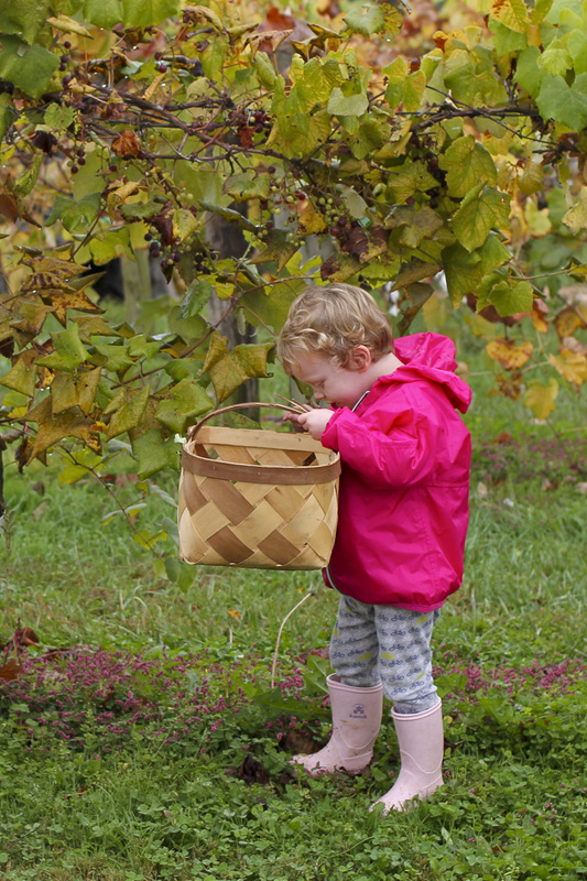 Toddler amongst the grapevines. Hendersonville, NC. (Stepp's Hillside Orchard) By Calm Cradle Photo & Design