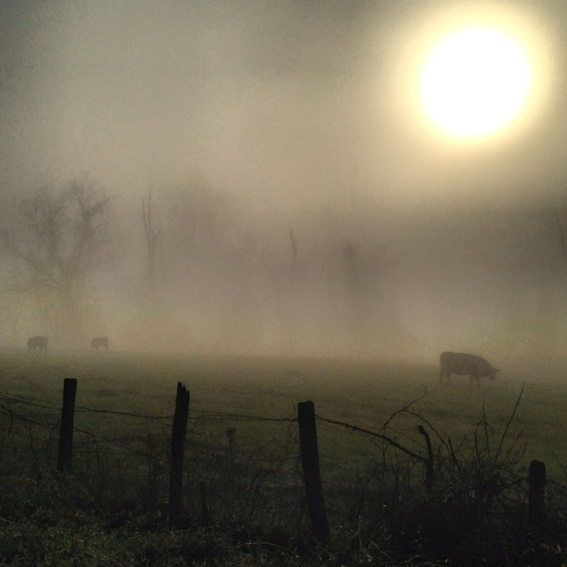 Cows in the fog. Blue Ridge Mountains, Asheville, NC. Julia Soplop/Calm Cradle Photo & Design