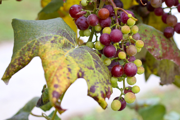 Green and purple grapes on the vine. Hendersonville, NC. By Calm Cradle Photo & Design