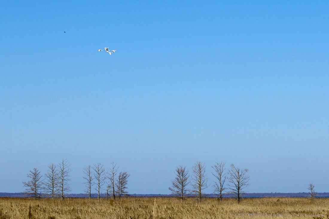 Tundra swans. Lake Mattamuskeet National Wildlife Refuge, NC. By Calm Cradle Photo & Design