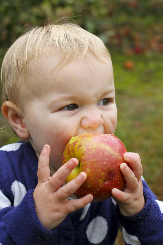 Toddler eating apple. Hendersonville, NC (Stepp's Hillside Orchard) By Calm Cradle Photo & Design