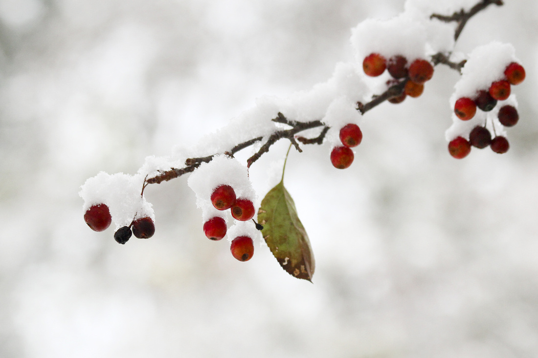 Snow on red berries. Asheville, NC. By Calm Cradle Photo & Design