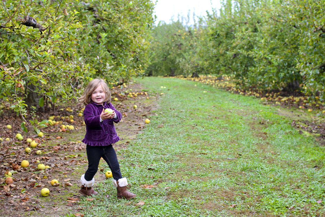 Toddler picking green apples. Hendersonville, NC. (Stepp's Hillside Orchard) By Calm Cradle Photo & Design