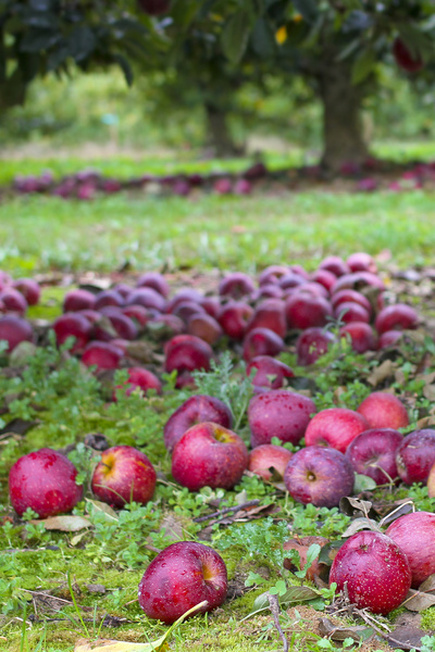 Let's pick apples. Red ones! Hendersonville, NC. By Calm Cradle Photo & Design