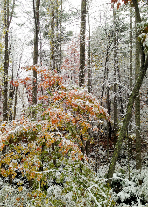 Fall meets winter in Asheville, NC. Snow on peaking leaves. By Calm Cradle Photo & Design