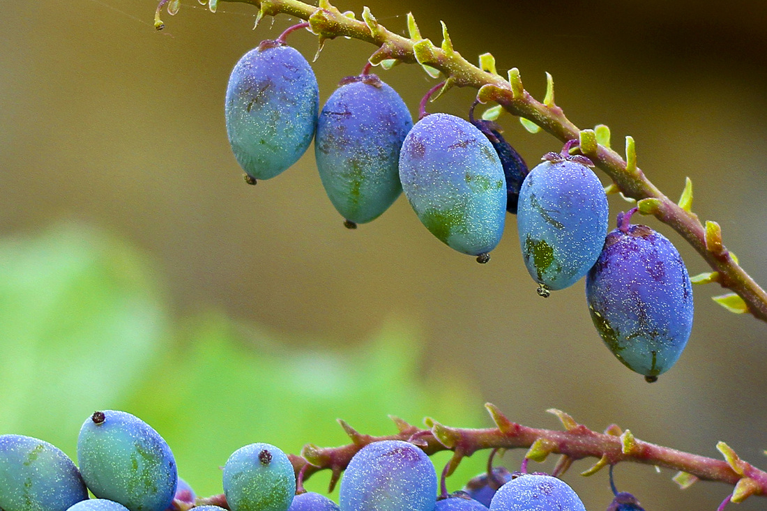 Early spring berries. (Blue, green and purple.) By Calm Cradle Photo & Design