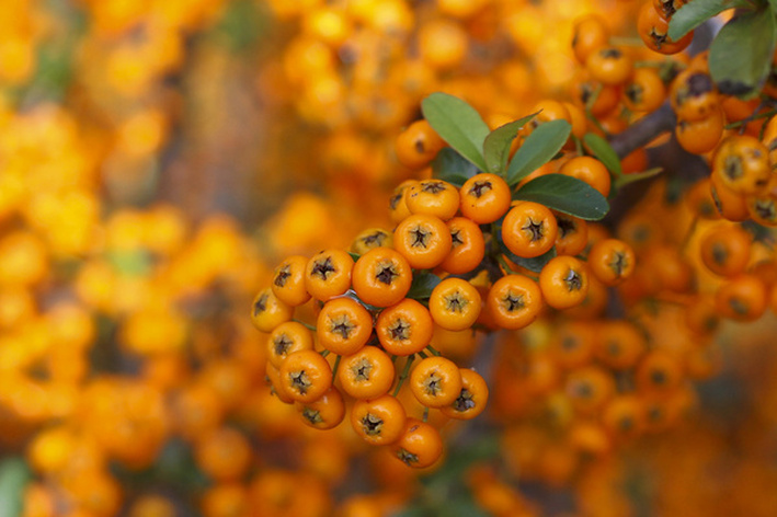 Fall berries in orange. JC Raulston Arboretum. Raleigh, NC. By Calm Cradle Photo & Design