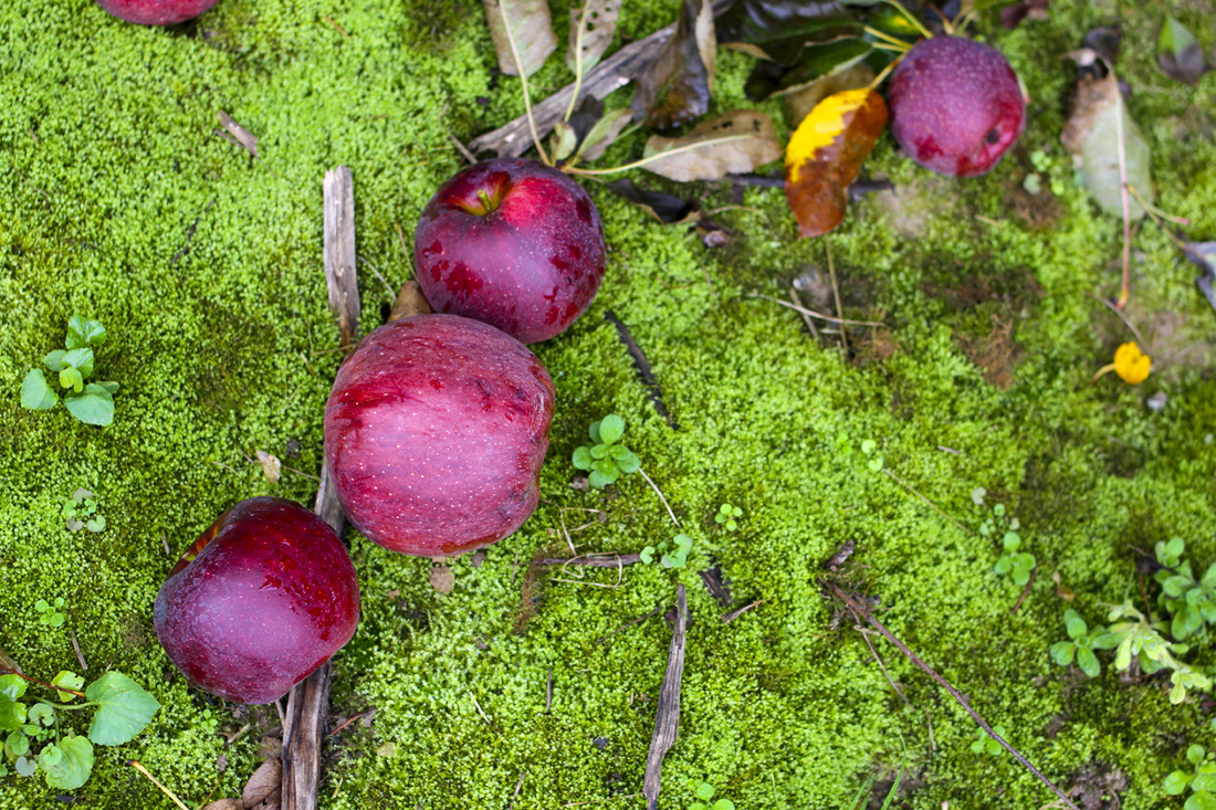 Red apples against green moss. Hendersonville, NC (Stepp's Hillside Orchard) By Calm Cradle Photo & Design