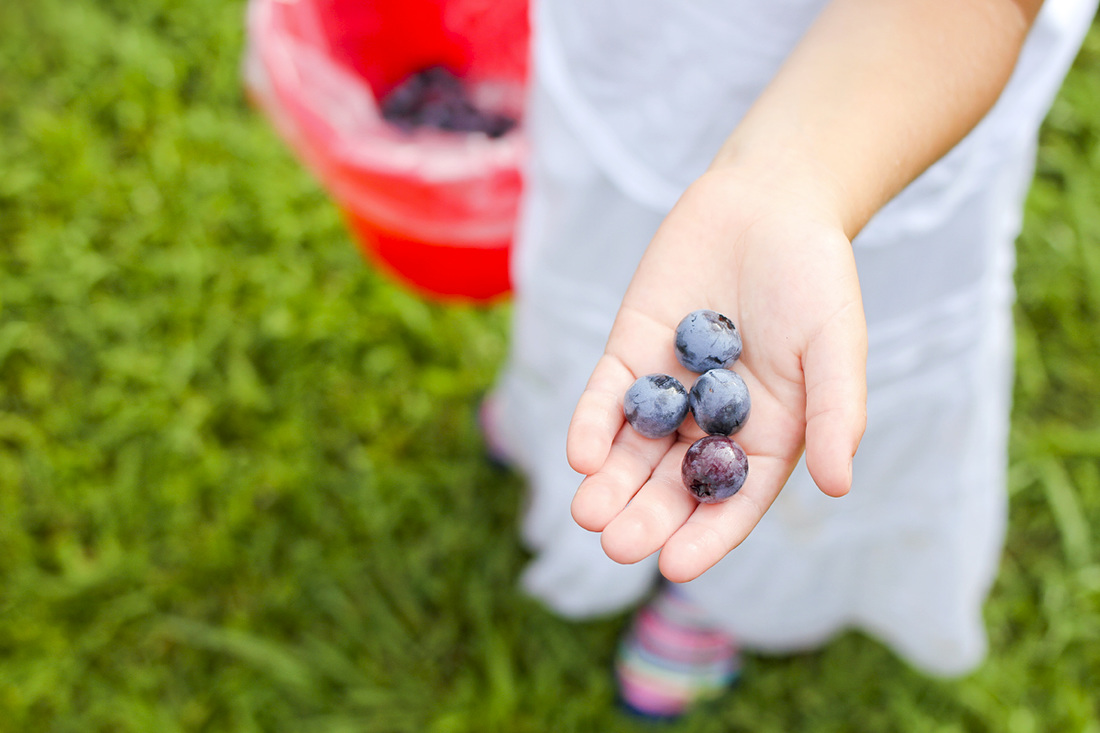 Pittsboro-Chapel Hill outdoors: Blueberry picking at Herndon Hills Farm (Durham, NC). By Calm Cradle Photo & Design (Chapel Hill, NC). Blueberries
