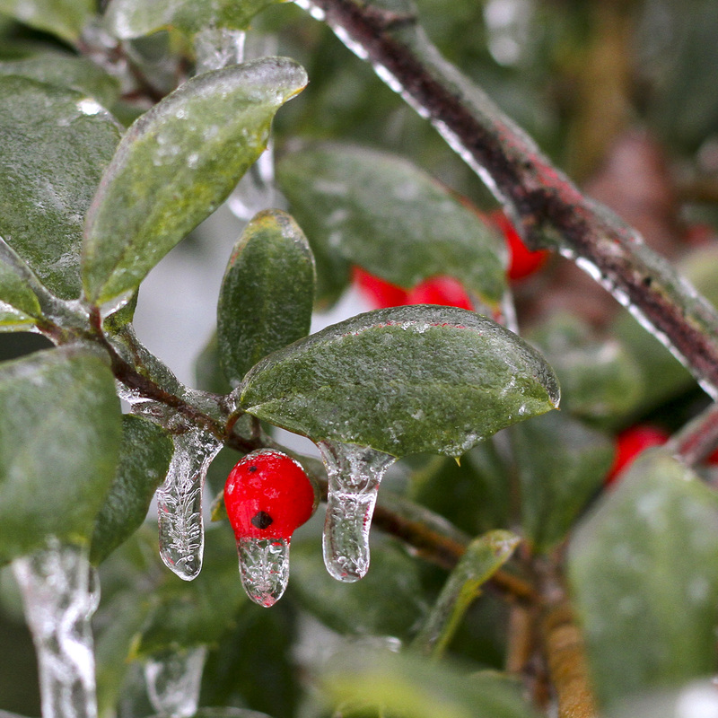 Holly berries covered in ice. Winter storm. By Calm Cradle Photo & Design. #ice #berries #holly #red