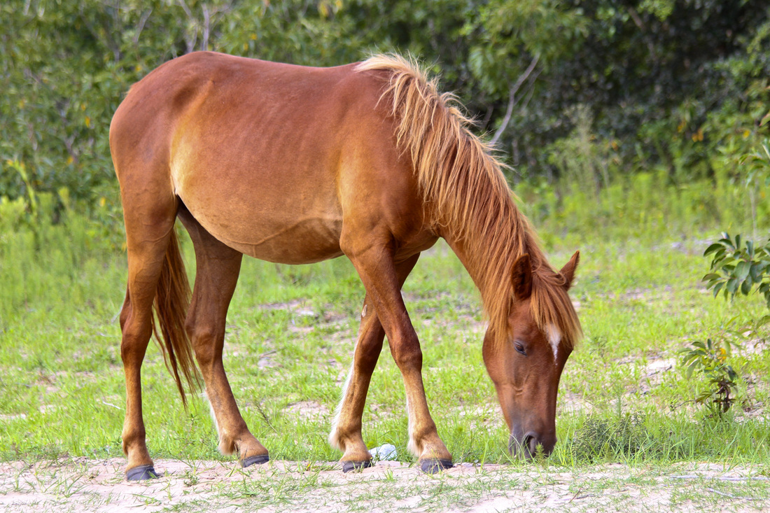 Wild Spanish mustang (horse). Corolla, Curritick Banks, Outer Banks, North Carolina (NC). By Calm Cradle Photo & Design