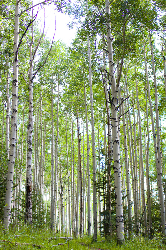 Aspen on the Colorado Trail. By Calm Cradle Photo & Design