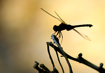 Dragonfly silhouette. Calm Cradle Photo & Design