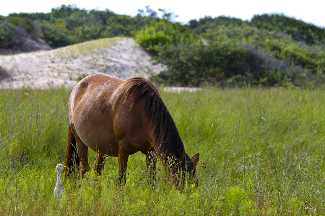 Wild Spanish mustang (horse) with egret. Corolla, Curritick Banks, Outer Banks, North Carolina (NC). By Calm Cradle Photo & Design