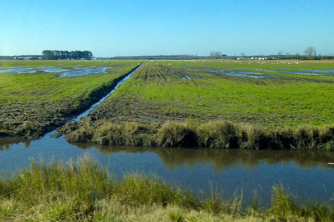 Soggy farmland of the Albemarle-Pamlico Peninsula, NC. Tundra swans in the background. By Calm Cradle Photo & Design