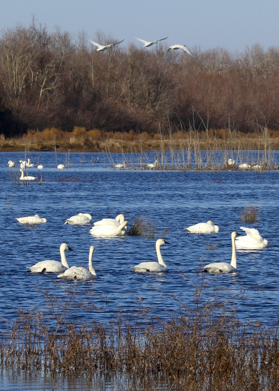 Tundra swans at Pungo Lake. Pocosin Lakes National Wildlife Refuge, NC. By Calm Cradle Photo & Design