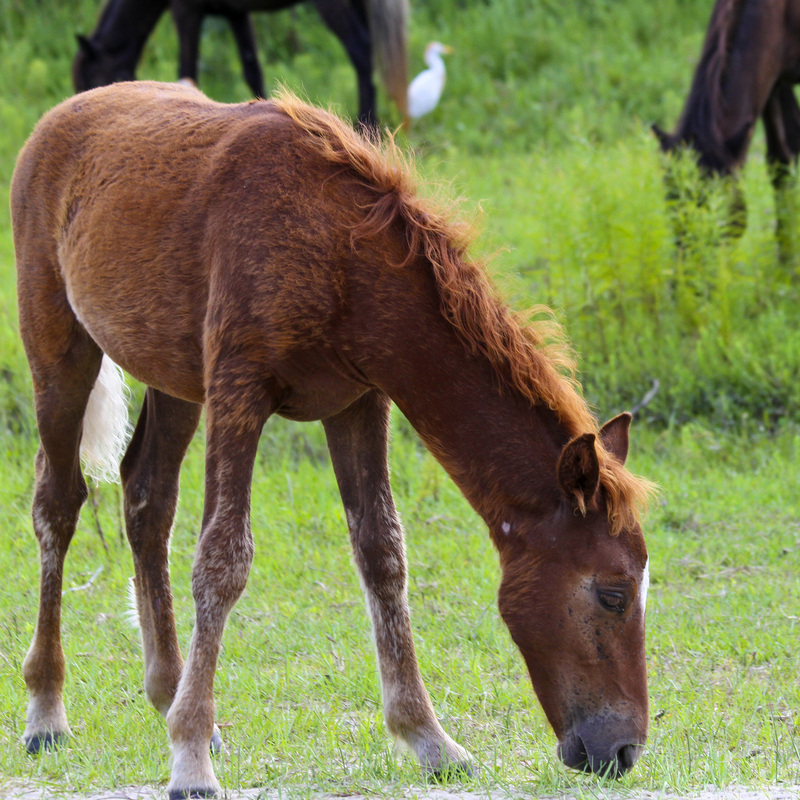 Wild Spanish mustang colt. Horses. Corolla, Curritick Banks, Outer Banks, North Carolina (NC). By Calm Cradle Photo & Design