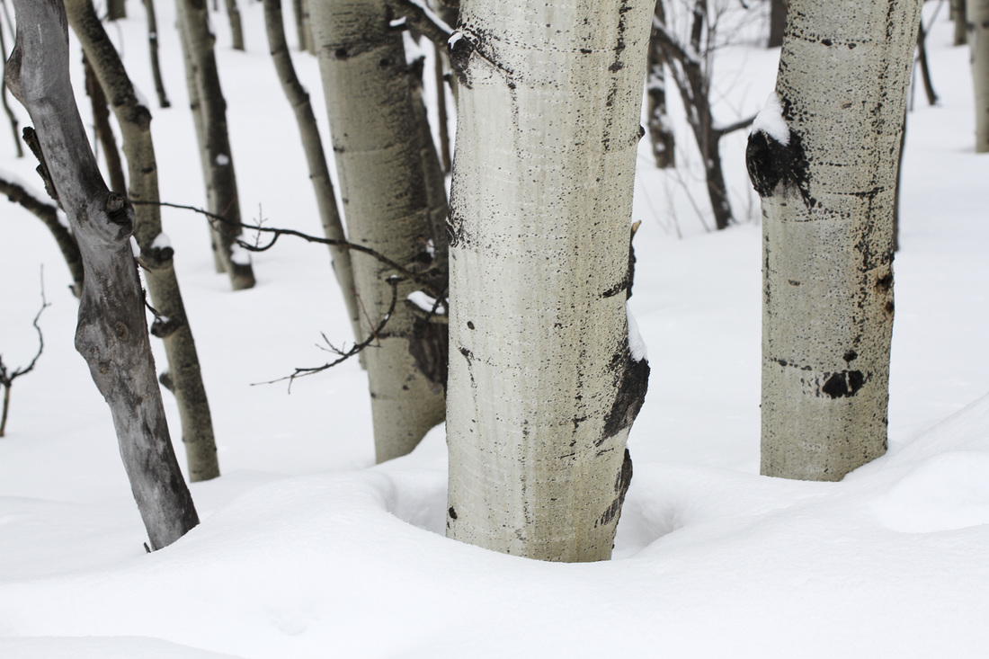 Aspen in snow. Rocky Mountain National Park, Colorado. By Calm Cradle Photo & Design