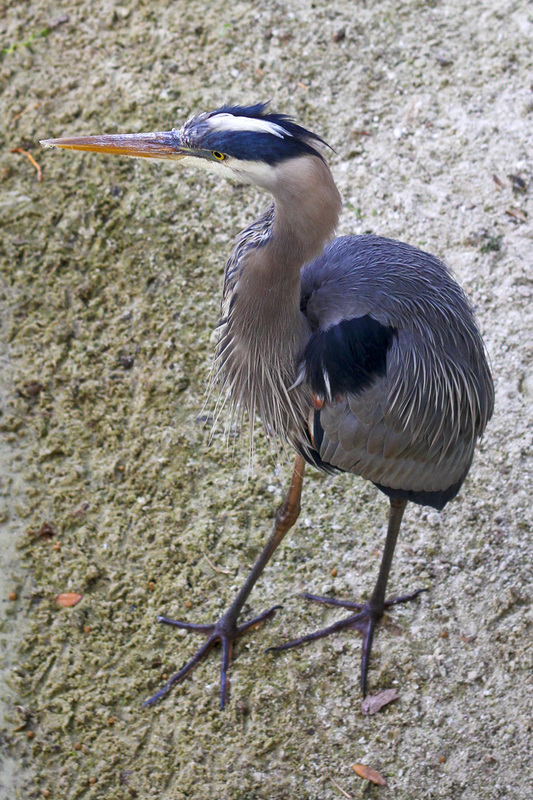 Great blue heron. Orlando, Florida. Calm Cradle Photo & Design