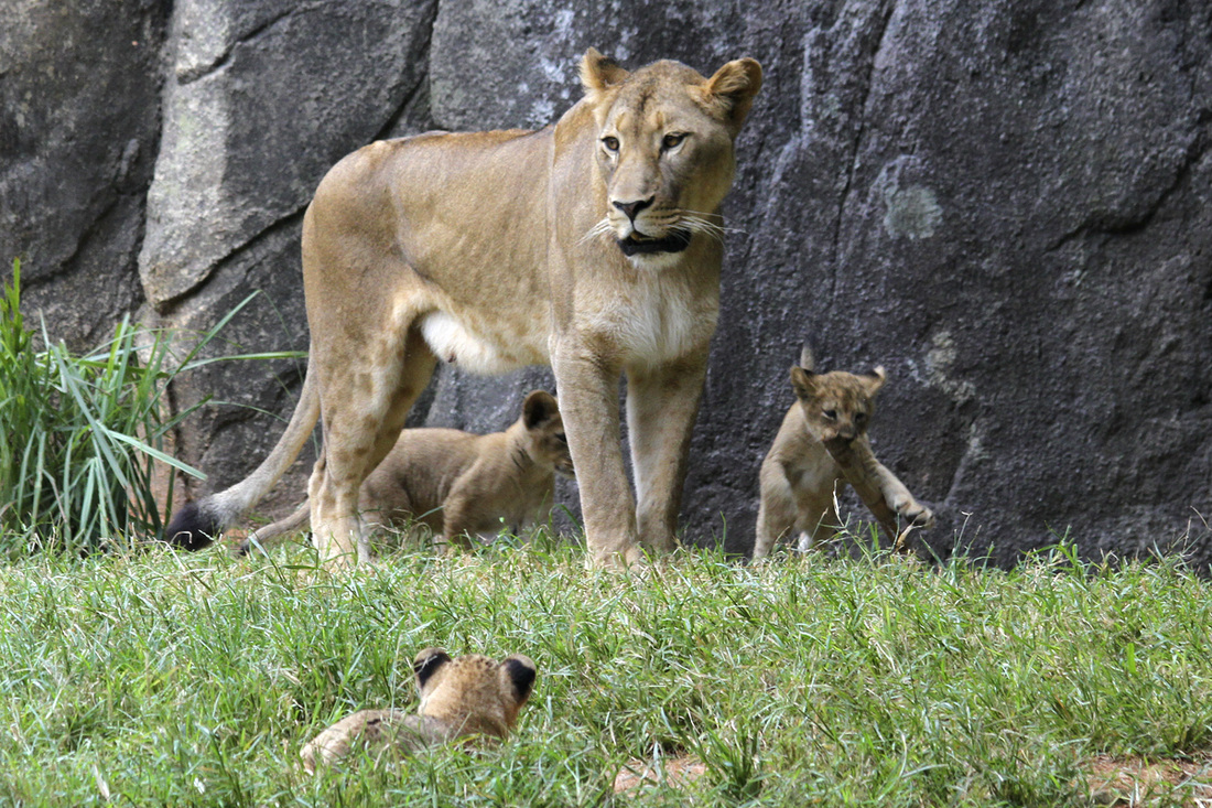 Lion cubs at the North Carolina Zoo. Photography by Calm Cradle Photo & Design
