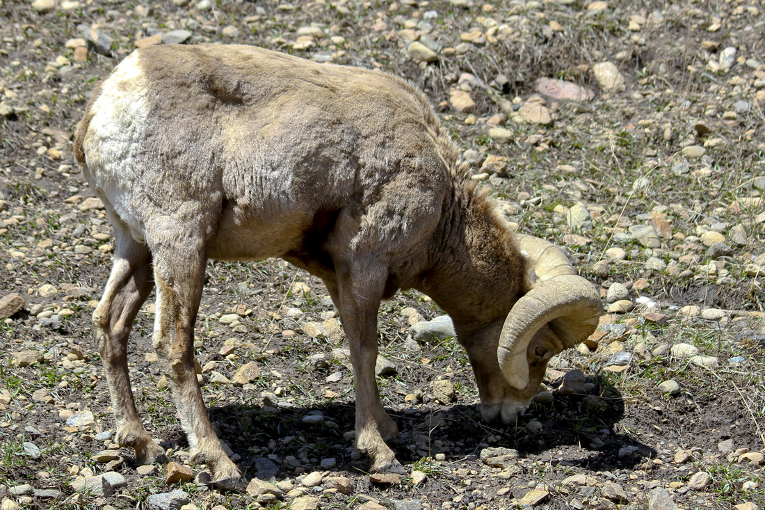 Bighorn sheep. Colorado Rocky Mountains. Calm Cradle Photo & Design