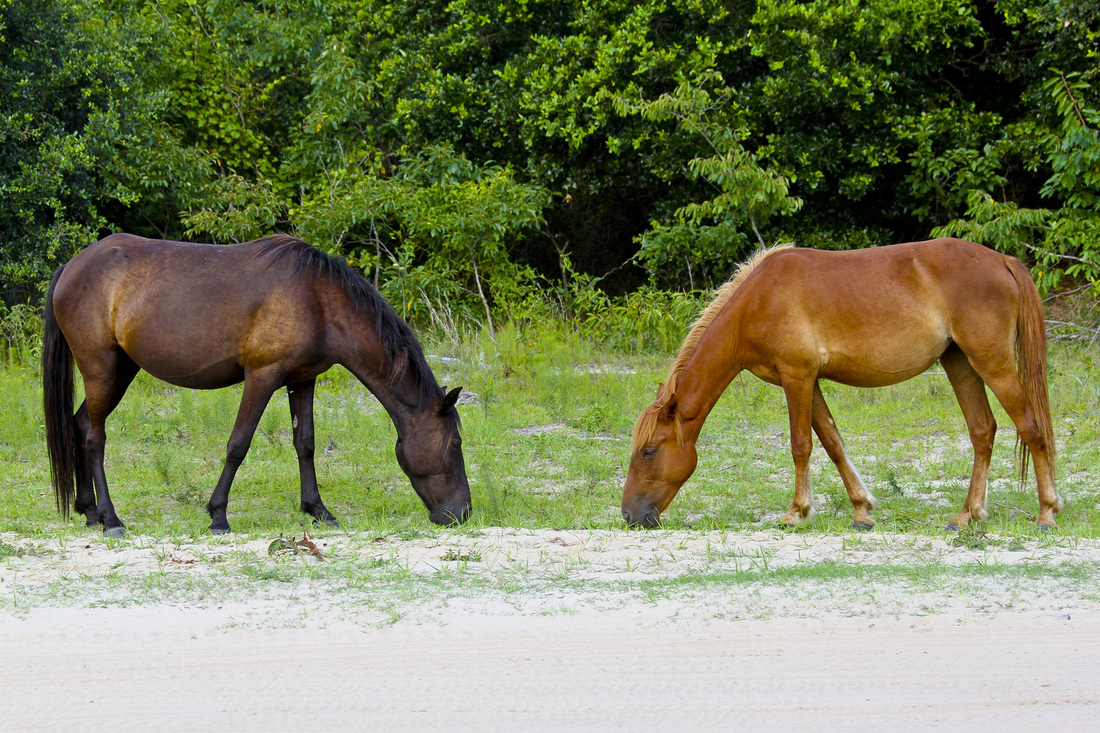 Wild Spanish mustangs (horses). Corolla, Curritick Banks, Outer Banks, North Carolina (NC). By Calm Cradle Photo & Design