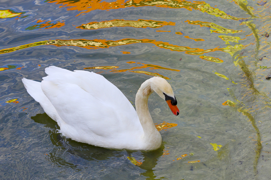 Swan swimming in pond reflecting the crazy colors of the Nickelodeon Suites. Orlando, Florida. Calm Cradle Photo & Design