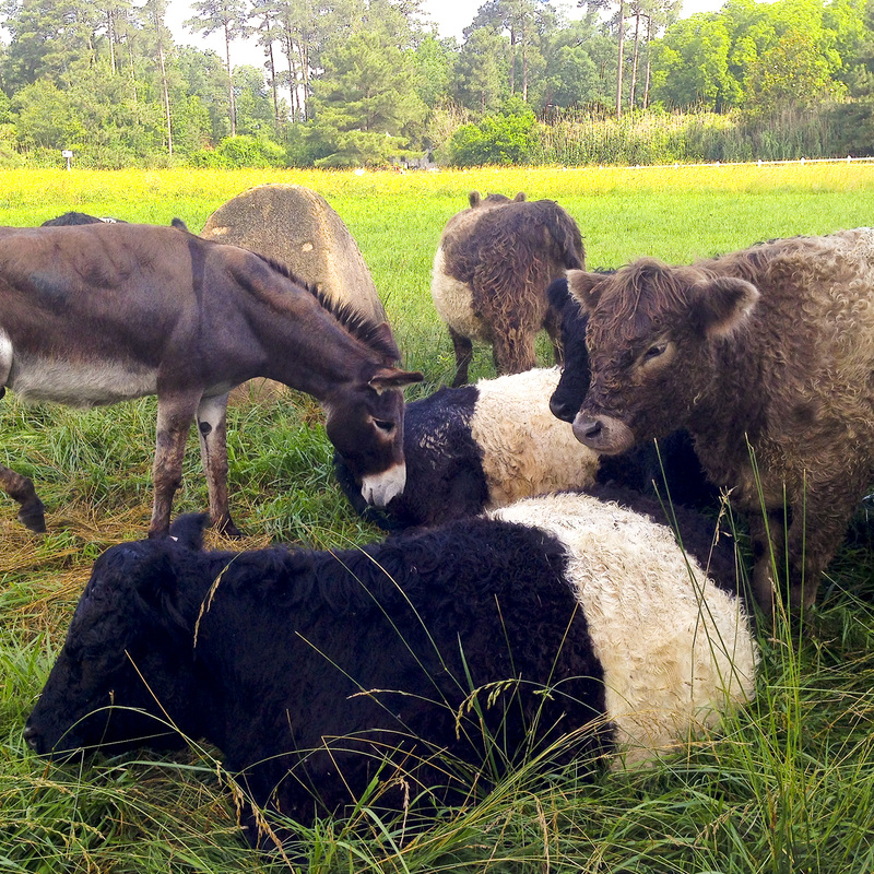 Looking for family-friendly activities in North Carolina? Pittsboro-Chapel Hill outdoors: Pizza, music and wandering the farm at Fearrington Village. North Carolina (NC). Belted cows. By Calm Cradle Photo & Design